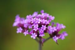 Sluit omhoog van Ijzerkruid Bonariensis flowerhead stock afbeeldingen