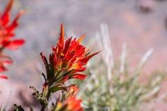 Sluit omhoog van Indisch penseel Castilleja wildflower bloeiend in de Provincie van Siskiyou, Californië royalty-vrije stock foto
