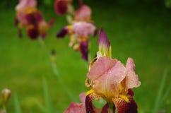 Sluit omhoog van irisbloem op een groene achtergrond royalty-vrije stock afbeeldingen