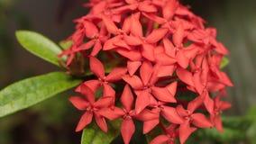 Sluit omhoog van ixoriabloem in de tropische tuin Het Eiland van Bali, Indonesië stock video