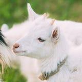 Sluit omhoog van Jong geitjegeit Het dier van het landbouwbedrijf Stock Foto's
