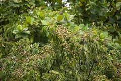 Sluit omhoog van Jong Klein longan fruit Royalty-vrije Stock Foto's