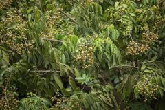 Sluit omhoog van Jong Klein longan fruit Stock Foto's