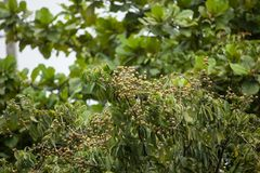 Sluit omhoog van Jong Klein longan fruit Royalty-vrije Stock Fotografie