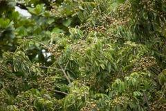 Sluit omhoog van Jong Klein longan fruit Stock Fotografie