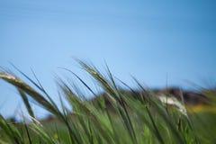 Sluit omhoog van Jonge Groene die Tarwe door de Wind tijdens de Lente worden gebogen Royalty-vrije Stock Fotografie