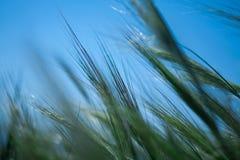 Sluit omhoog van Jonge Groene die Tarwe door de Wind tijdens de Lente worden gebogen Stock Fotografie