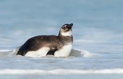 Sluit omhoog van jonge Magellanic-pinguïn in water stock afbeelding