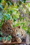 Sluit omhoog van jonge mannelijke vrouwelijke luipaard royalty-vrije stock afbeeldingen