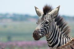 Sluit omhoog van jonge Zebra Stock Afbeelding
