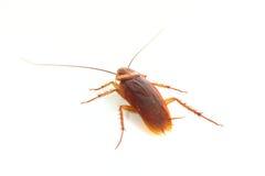 Sluit omhoog van kakkerlak. Stock Foto's