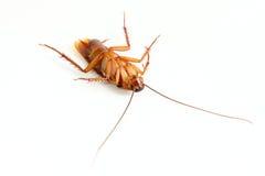 Sluit omhoog van kakkerlak. Royalty-vrije Stock Afbeelding