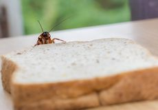 Sluit omhoog van kakkerlak op een Geheel tarwebrood stock fotografie