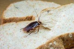 Sluit omhoog van kakkerlak op een Geheel tarwebrood stock afbeelding