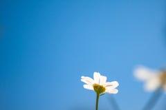 Sluit omhoog van Kamilles in de Blauwe Hemel tijdens de Lente Stock Fotografie