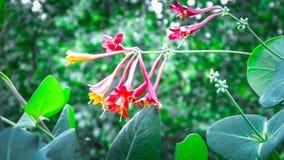 Sluit omhoog van kamperfoeliebloemen stock afbeeldingen