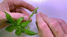Sluit omhoog van Kaukasische handen snijdend een kloon van de cannabismarihuana stock videobeelden