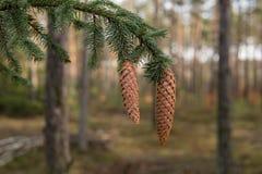 Sluit omhoog van kegels op een boom Stock Foto