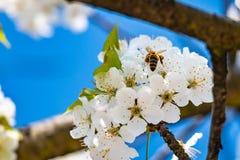 Sluit omhoog van kersenbloesems in aard met een bij stock afbeelding