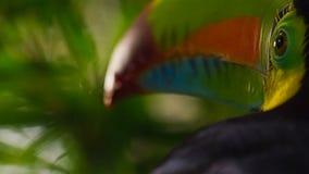 Sluit omhoog van kiel-Gefactureerde Toekan, Ramphastos-sulfuratus, vogel in natuurlijk Foz doet Iguacu, Brazilië stock afbeeldingen