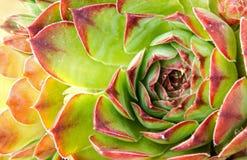 Sluit omhoog van kip en kuiken of crassulaceae stock foto's