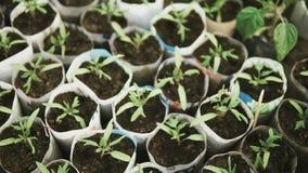 Sluit omhoog van kleine tomatenzaailingen groeiend binnen van een serre stock videobeelden