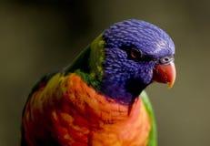 Sluit omhoog van kleurrijke Regenboog Lorikeet Stock Afbeeldingen