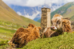 Sluit omhoog van koeien in Ushguli, Hogere Svaneti, Georgië, Europa Royalty-vrije Stock Afbeelding