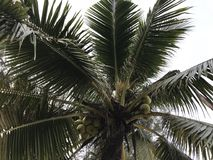 Sluit omhoog van kokospalmbehang Stock Foto's