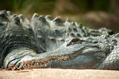 Sluit omhoog van krokodillegezicht Stock Afbeeldingen