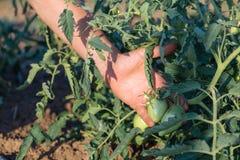Sluit omhoog van landbouwer het inspecteren tomatengewas op het gebied van organisch ecolandbouwbedrijf Stock Foto