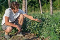 Sluit omhoog van landbouwer het inspecteren tomatengewas op het gebied van organisch ecolandbouwbedrijf Royalty-vrije Stock Foto