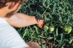 Sluit omhoog van landbouwer het inspecteren tomatengewas op het gebied van organisch ecolandbouwbedrijf Royalty-vrije Stock Foto's