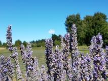 Sluit omhoog van lavendelbloemen royalty-vrije stock foto