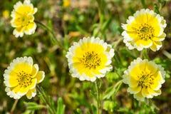 Sluit omhoog van Layia-platyglossawildflowers, algemeen genoemd kusttidytips, Californië stock foto's