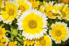 Sluit omhoog van Layia-platyglossawildflowers, algemeen genoemd kusttidytips, Californië stock foto