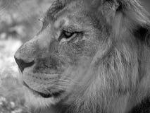 Sluit omhoog van leeuwhoofd met manen Gefotografeerd in zwart-wit bij Haven Lympne Safari Park dichtbij Ashford Kent het UK stock fotografie