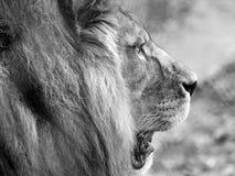 Sluit omhoog van leeuwhoofd met manen Gefotografeerd in zwart-wit bij Haven Lympne Safari Park dichtbij Ashford Kent het UK royalty-vrije stock afbeelding