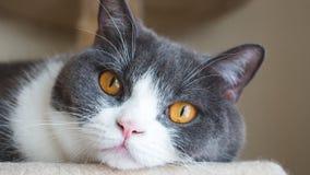 Sluit omhoog van leuk katten` s gezicht De Schotse vouwenoren openen gouden ogen en grijs en wit dekkleur Stock Fotografie