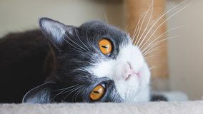 Sluit omhoog van leuk katten` s gezicht De Schotse vouwenoren openen gouden ogen en grijs en wit dekkleur Stock Afbeelding