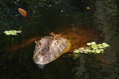 Sluit omhoog van libel op het hoofd van een van de Kaaimanlatirostris van de aligaÃ'piek ¡ Kaaiman Crocodilus Yacare Jacare, in royalty-vrije stock foto's