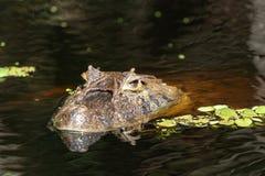 Sluit omhoog van libel op het hoofd van een van de Kaaimanlatirostris van de aliga¡ piek Kaaiman Crocodilus Yacare Jacare, in ri stock foto's
