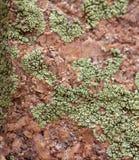 Sluit omhoog van Lichen Growing op een Rots stock fotografie