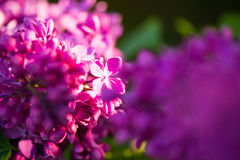 Sluit omhoog van Lilac bloem Stock Foto