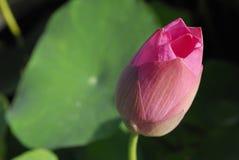 Sluit omhoog van lotusbloem Royalty-vrije Stock Foto