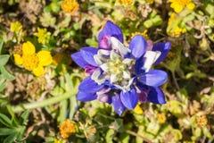 Sluit omhoog van Lupine wildflower door goudvelden, de baai van San Francisco, Californië wordt omringd dat royalty-vrije stock foto