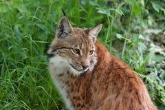 Sluit omhoog van lynx royalty-vrije stock foto
