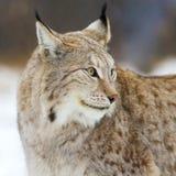 Sluit omhoog van lynx in het bos Stock Foto's