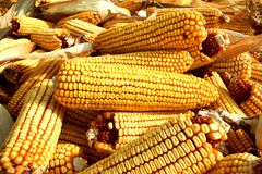 Sluit omhoog van maïskolven en schillen Stock Foto's
