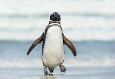 Sluit omhoog van Magellanic-pinguïn die aan wal komen stock foto's